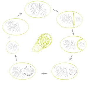 Das mehrstufige Verfahren der Sporulation